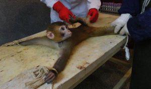 vivisection monkey